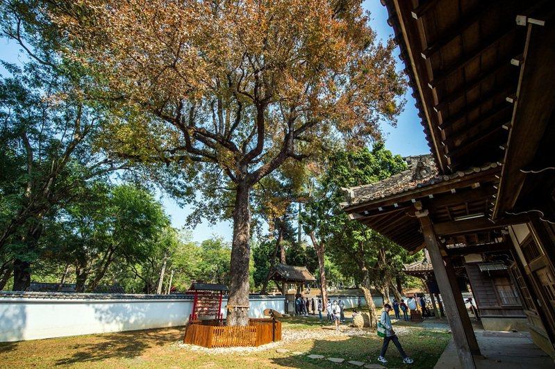 嘉義公園內的史蹟資料館有一棵樹齡超過百年的楓樹,近期楓葉已轉紅。圖/嘉市府提供