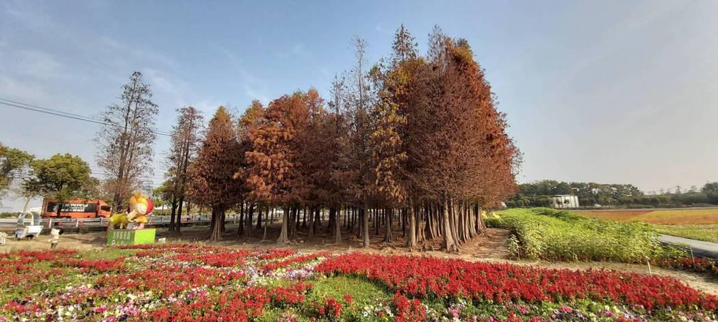 台南六甲落羽松目前轉色正美,預估春節會湧入遊客。記者吳淑玲/翻攝