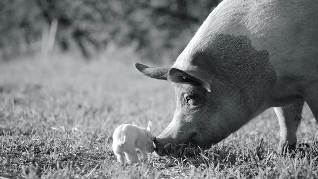 「農場我的家」女主角甘妲被美國獨立影評網站IndieWire奉為「豬界的梅莉史翠