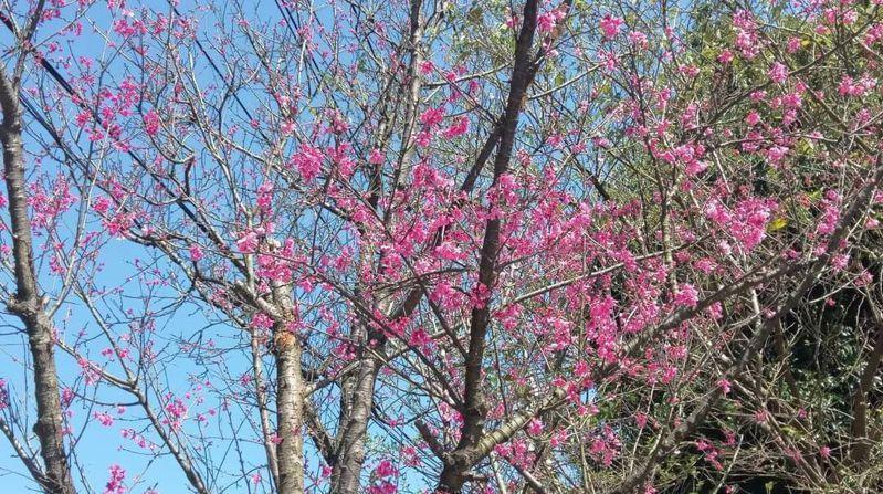 七堵瑪陵山區和暖東峽谷的「龍門谷」產業道路的櫻花也相繼盛開,吸引民眾前往賞花踏青。圖/基隆產業發展處提供