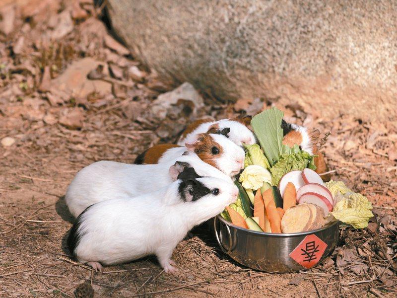 天竺鼠們大啖園方準備的蔬菜拼盤,就像過年圍爐。圖/新竹市立動物園提供