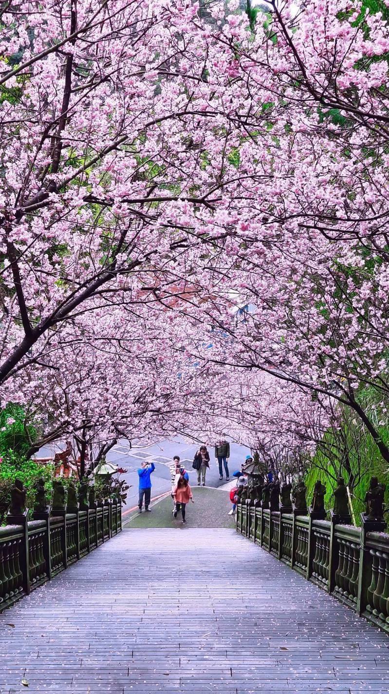 內湖碧山巖為知名賞櫻夢幻景點,不用出國彷彿就像置身日本。圖/北市議員游淑慧提供