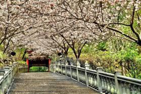 美到哭! 內湖夢幻景點 粉紅櫻花綻放宛如置身日本