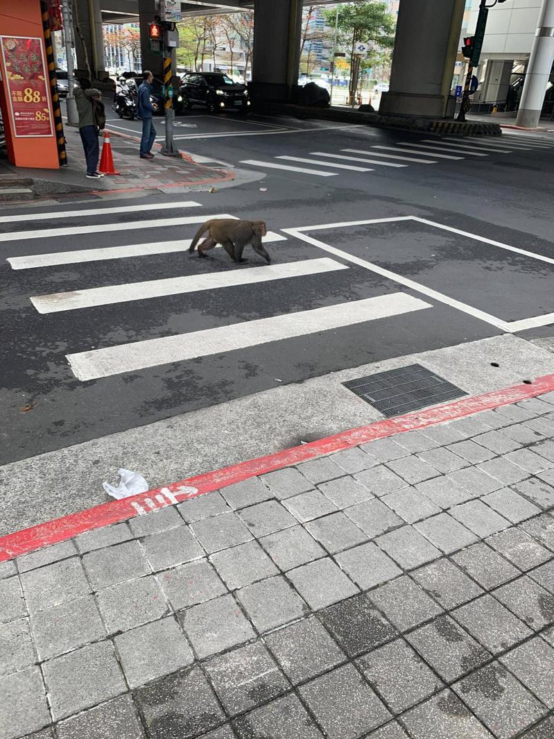 有民眾今早於北市捷運西湖站附近驚見猴子在大街上趴趴走。圖/截自PTT