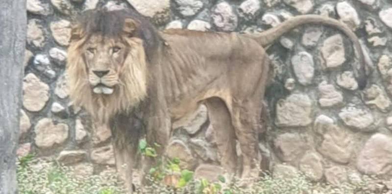 民眾春節期間遊壽山動物園,拍到一隻獅子骨瘦如柴,PO上網路引起譁然,園方解釋,是因罹患腎臟疾病,才會偏瘦。圖/翻攝自臉書「爆料公社」