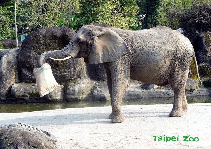 台北市立動物園在下午2時,贈送非洲象各一個「福袋」。圖/北市動物園提供