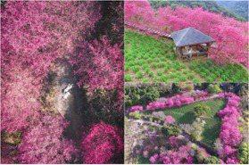 台中最大櫻花林!新社2大「粉紅秘境」美瘋了,還有櫻花髮夾彎排排花樹盛放