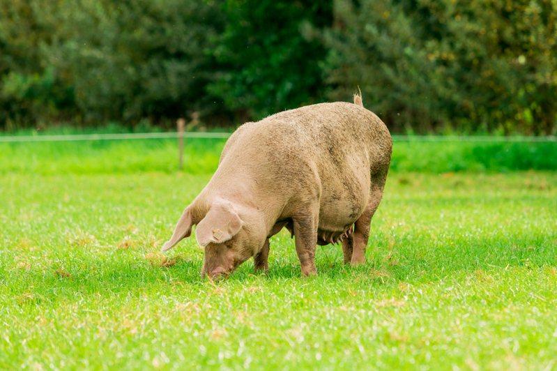 新研究指出,豬能用鼻子操控遊戲搖桿。示意圖。圖片來源/ingimage