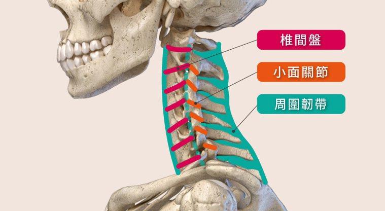 椎間盤、小面關節、及周圍韌帶,是穩定脊椎的三大助力 圖/菁英診所 提供