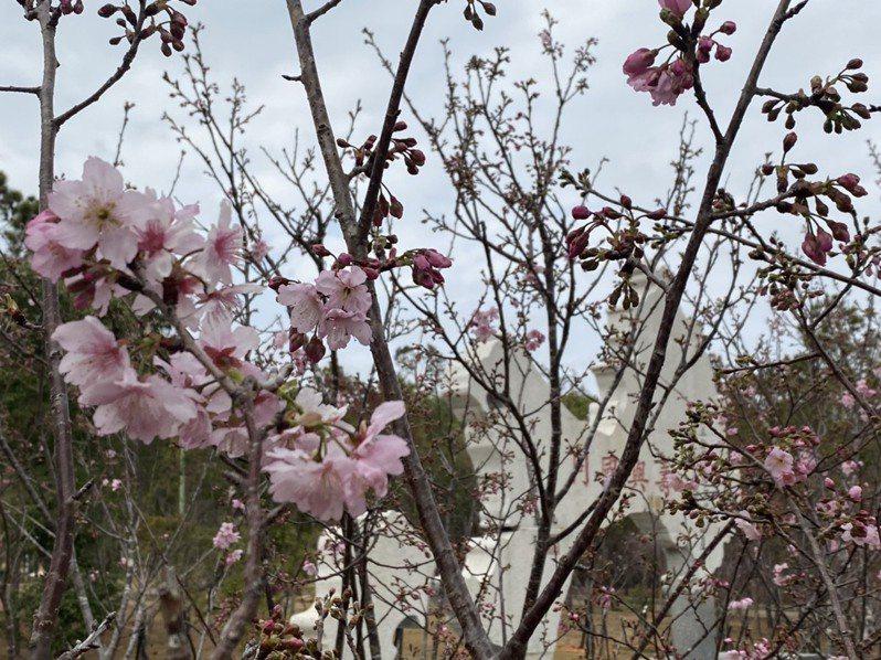 國立金門大學最近校園卻相當熱鬧,原來是校園內的櫻花最近陸續盛開,美不勝收,很多人都慕名專程到學校賞花拍照。圖/金大提供