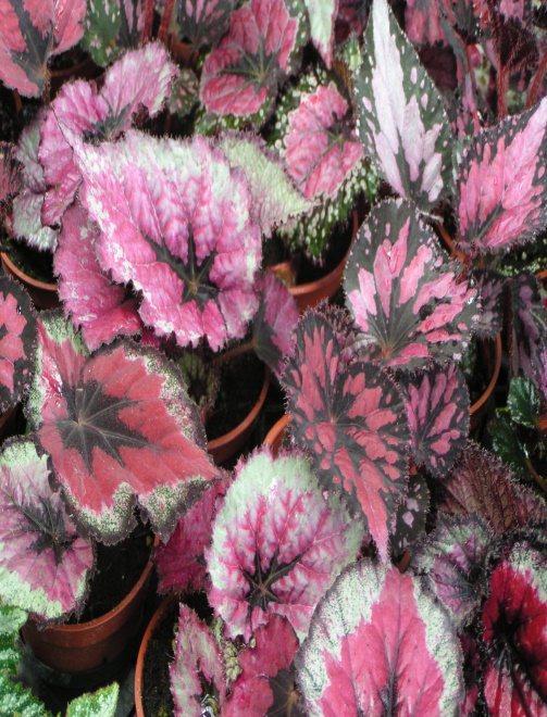 秋海棠植株除了觀賞用途外,部分種類葉片還可食用,歐洲國家常利用葉子做湯料,味酸、風味奇特。圖/種苗場提供