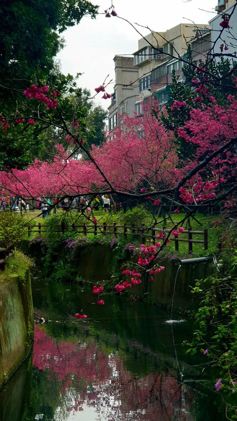 櫻花沿著新街溪種植形成倒影。記者鄭國樑/攝影