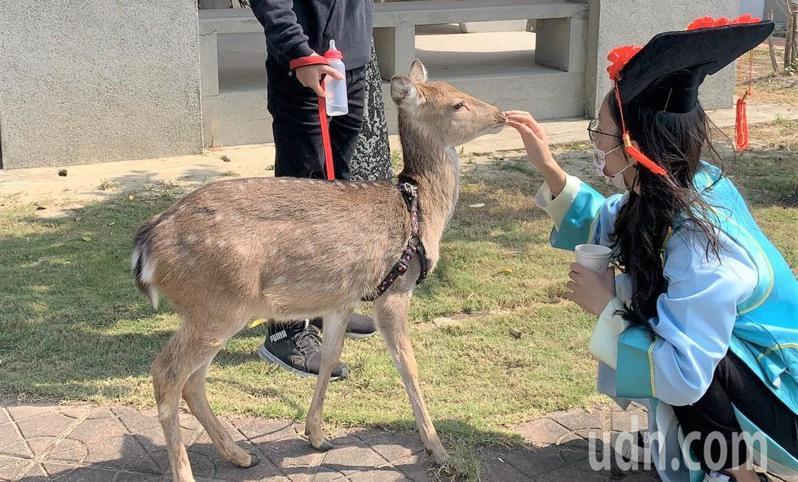 台南佳里漳洲社區養鹿產業發達,遊客可和小鹿互動。記者吳淑玲/攝影