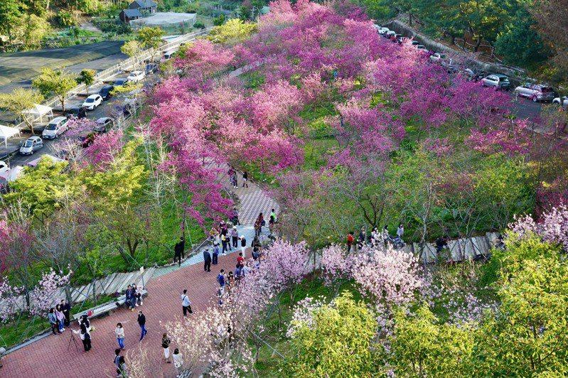 整片粉色的香水櫻已經悄悄攻佔櫻花鳥森林的山頭,十分浪漫。圖/櫻花鳥森林提供