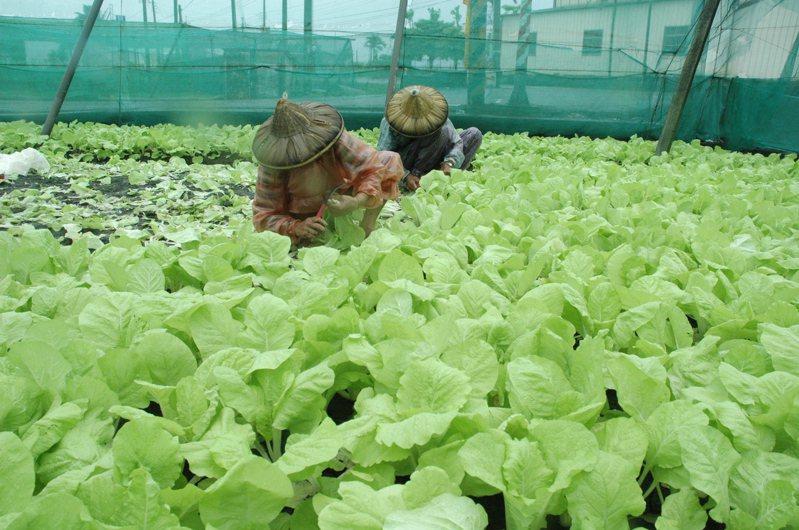 春節過後,菜農採收蔬菜上市,卻遇供過於求窘境。圖/聯合報系資料照片