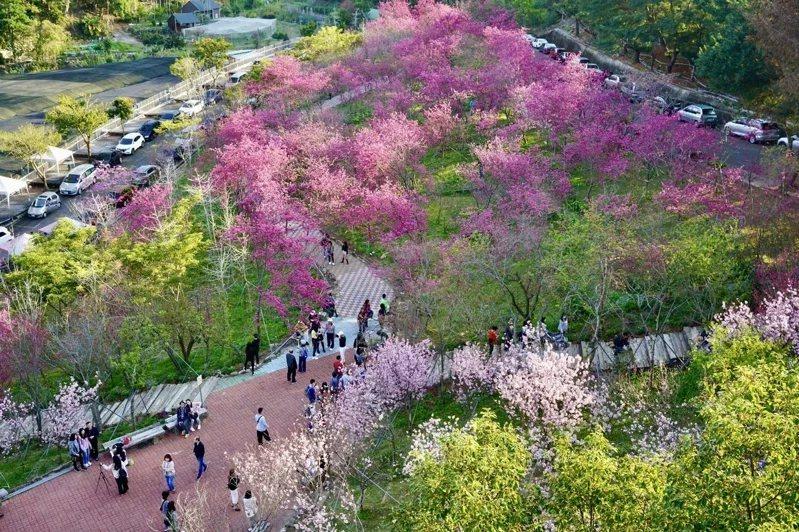 整片粉色的香水櫻已經悄悄攻佔櫻花鳥森林的山頭,十分浪漫。 圖/櫻花鳥森林 提供