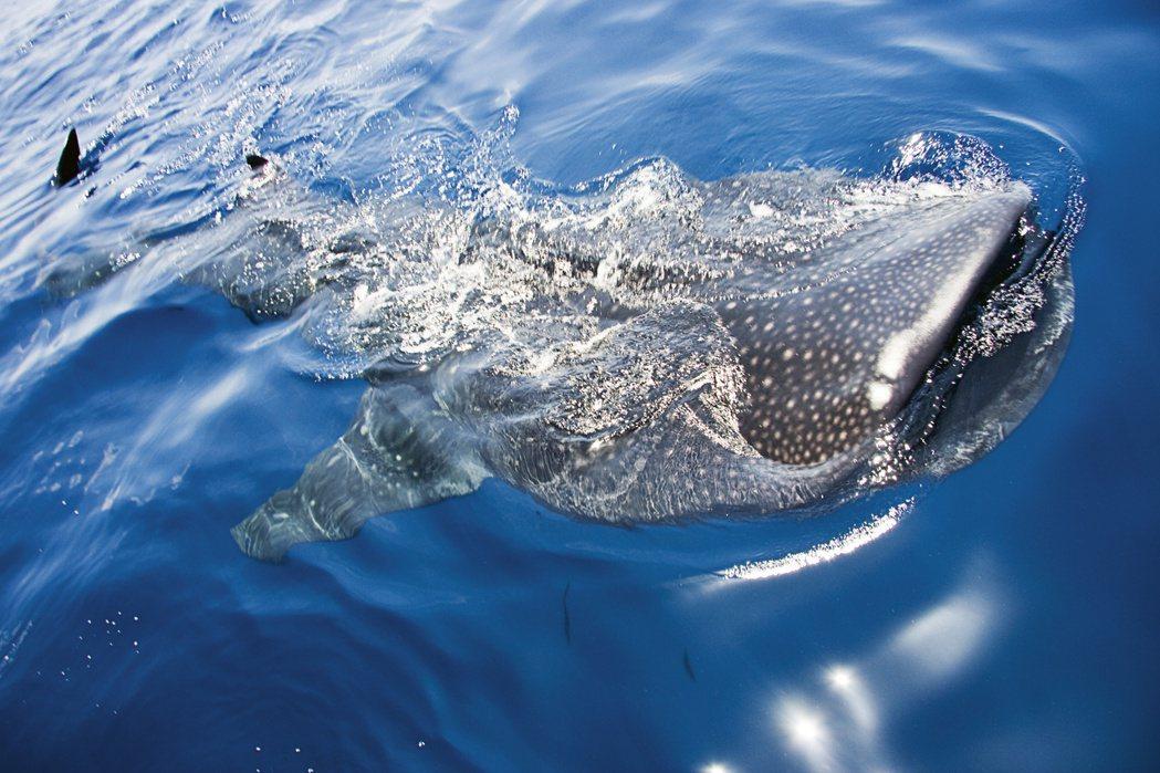 鯨鯊(Whale shark)是美國瀕危物種法案中的其中之一。業者/提供