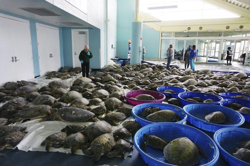 南帕德雷島會議中心目前已收容3500隻海龜,但隨著另一波冷鋒即將到來,有可能會「失去」部分海龜。美聯社