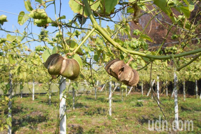彰化平原農作物豐饒,漸有農民看好印加果商機,改種印加果樹。記者簡慧珍/攝影