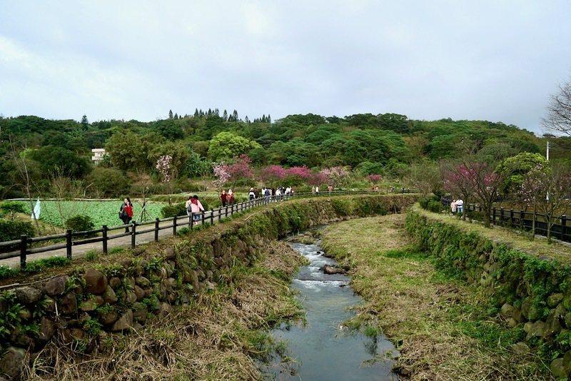 三生步道兩側,已開花的櫻花樹。
