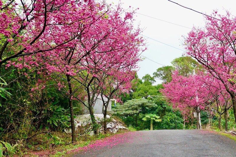三生步道遠方民宅路旁的櫻花,開的茂盛漂亮。
