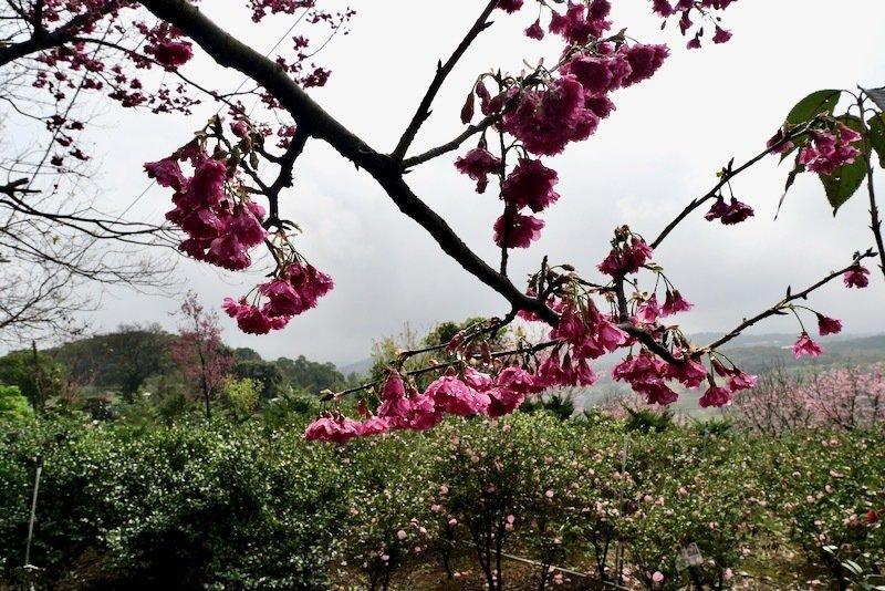 茶花園旁的櫻花樹也盛開了。