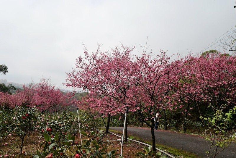 八重櫻大盛開的民宅前路旁。