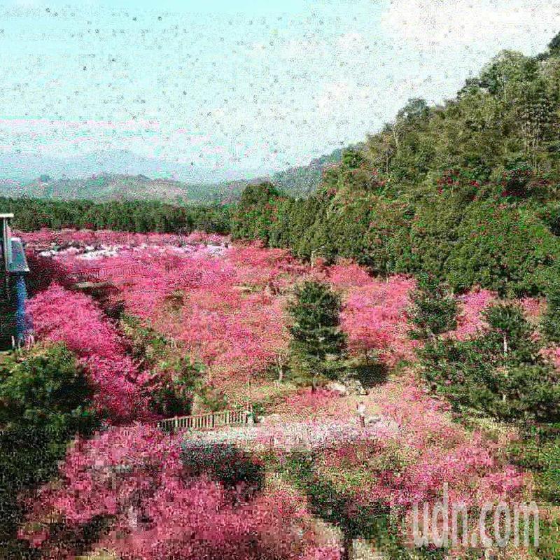 九族文化村目前共有八重櫻、吉野櫻、富土櫻及大白櫻共4種櫻花一起開放。記者黑中亮/攝影