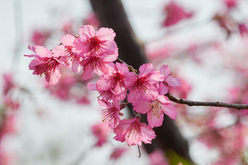 位於鶯歌永吉公園的櫻花現已繽紛盛開。圖/新北市景觀處提供