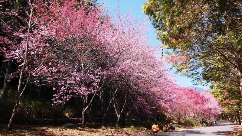 武陵農場櫻花季已在今年2月12日登場,將持續至3月1日。圖/中市府觀旅局提供