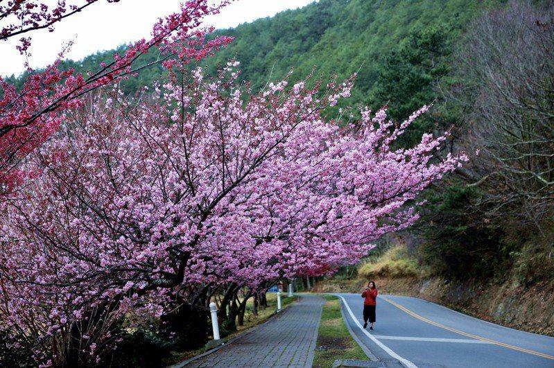 全年全台少雨,加上年底迄今連續低溫,武陵農場櫻花盛開,預計2月下旬達到最盛開期。圖/武陵農場提供