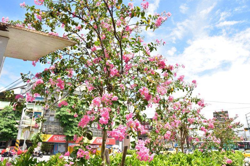 宜蘭市宜興路種植紫薇,市公所宣布將種植區域擴大,延伸至宜興路3段,圖為夏天紫薇盛開畫面。記者張議晨/攝影