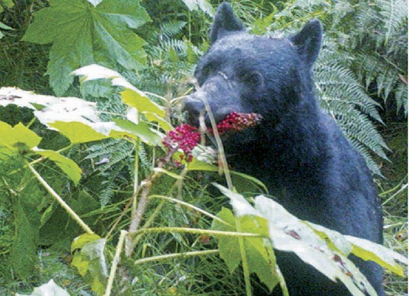 美國阿拉斯加州發生居民到野外露營,臀部卻被一隻躲在馬桶下面的熊攻擊。州政府的生物學家懷疑她被黑熊的熊爪打到,也可能是地球上唯一一個遇到此事的人。2014年資料照片。美聯社