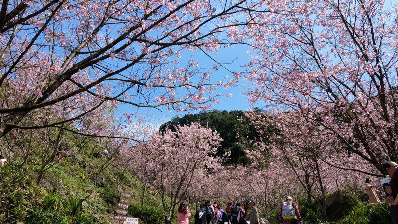 全台櫻花盛開。記者林澔一/攝影
