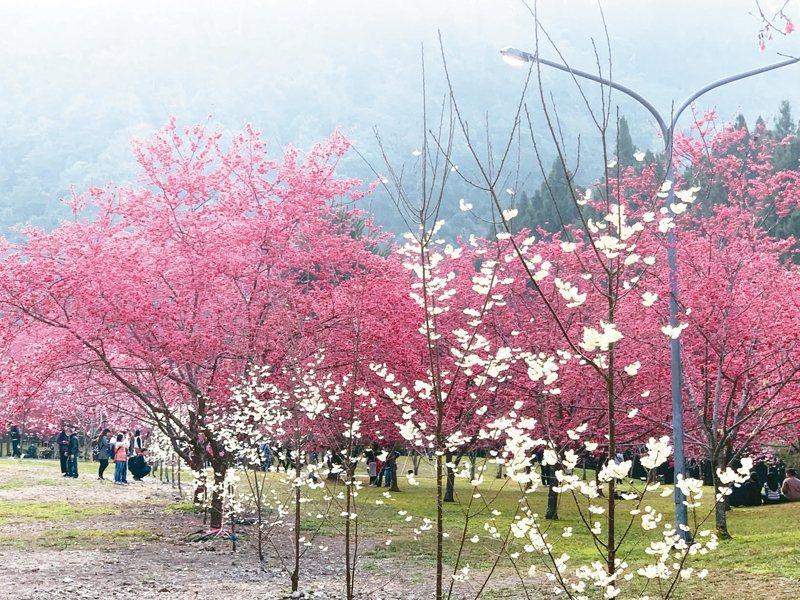 九族櫻花盛開,今年還有新登場的大白櫻。 圖/九族文化村提供