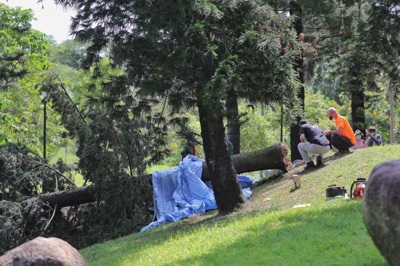 新加坡一名女子早晨在公園裡晨跑時,因雙耳戴著降噪耳機,沒有聽見樹木即將倒下的聲音,不慎遭到樹木壓倒致死。圖擷自海峽時報
