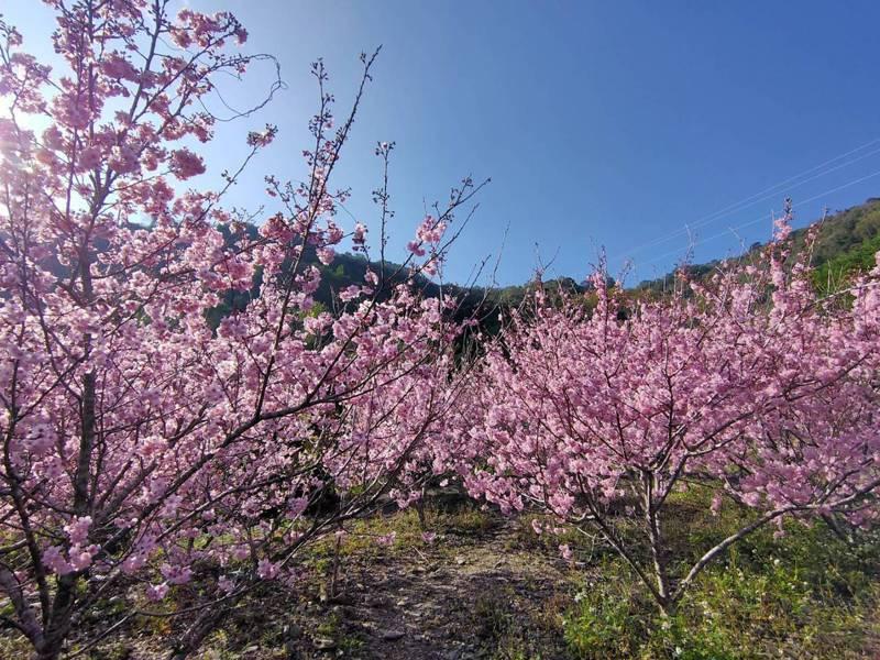 台14線埔霧公路69.5K旁的野溪曾飽受土石流肆虐,經整治,如今櫻花盛綻吸睛。圖/讀者提供