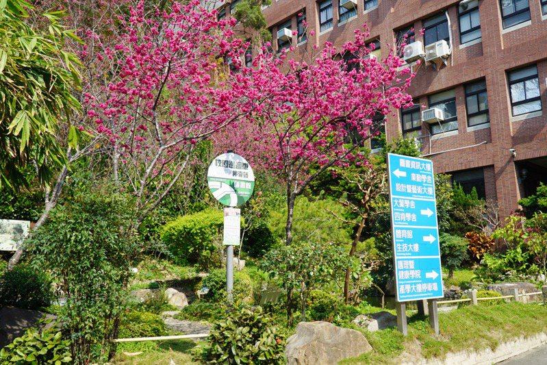 彰化縣大葉大學校園內包括山櫻花、八重櫻、富士櫻等11種櫻花陸續盛開。圖/大葉大學提供