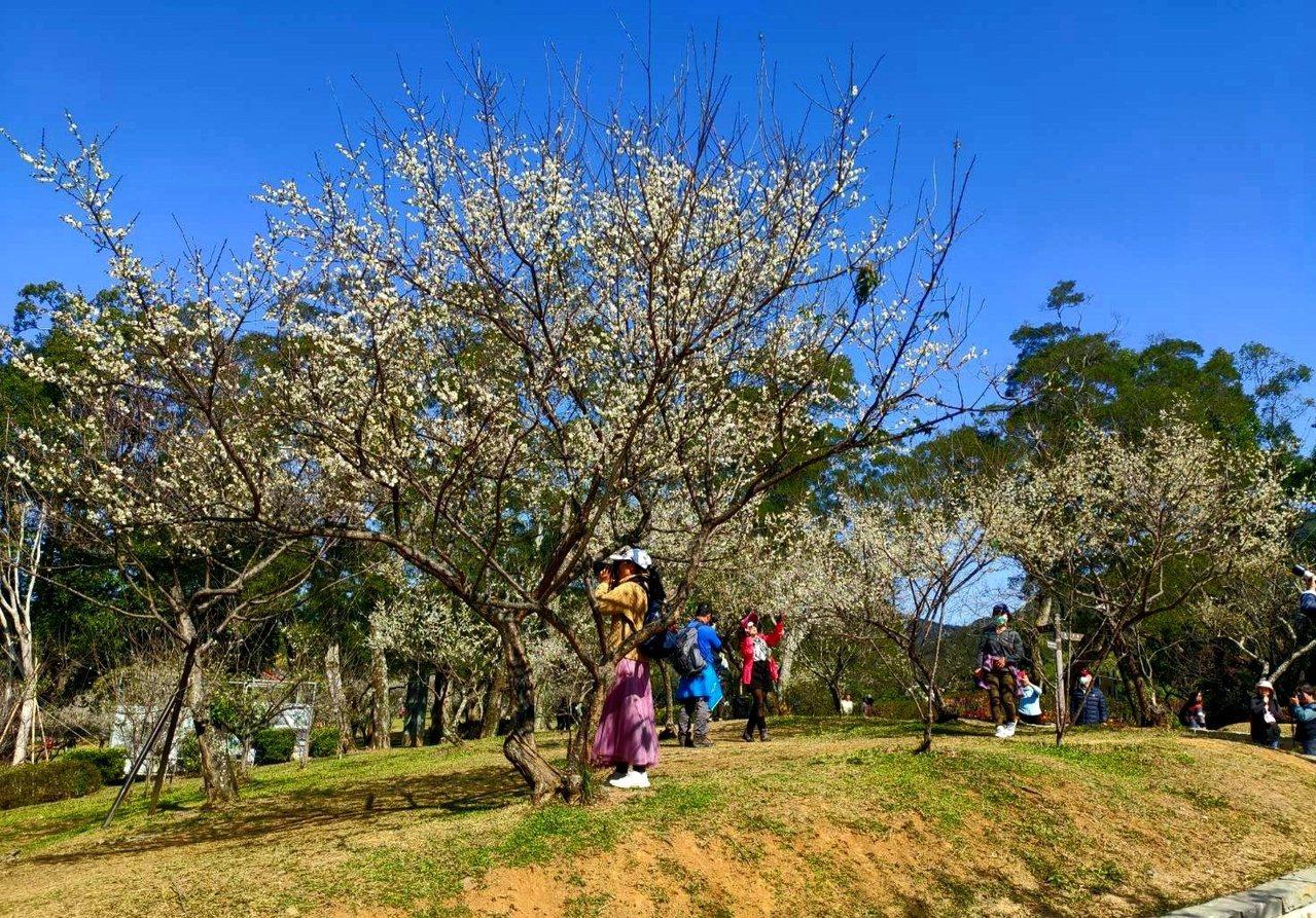 角板山的梅花園區因為地勢平坦,遊客可以靠近美拍。 圖/鄭國樑 攝影