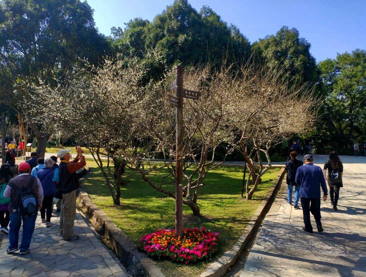 角板山園區的梅園每天都有遊客來此賞花。 圖/鄭國樑 攝影