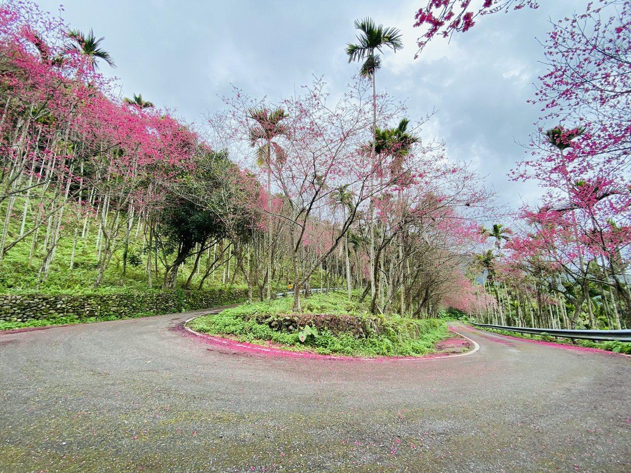 花蓮鳳林山林小徑最高的轉彎處,粉紅櫻花在道路兩旁盛開,視野開闊,可說是整條步道最...