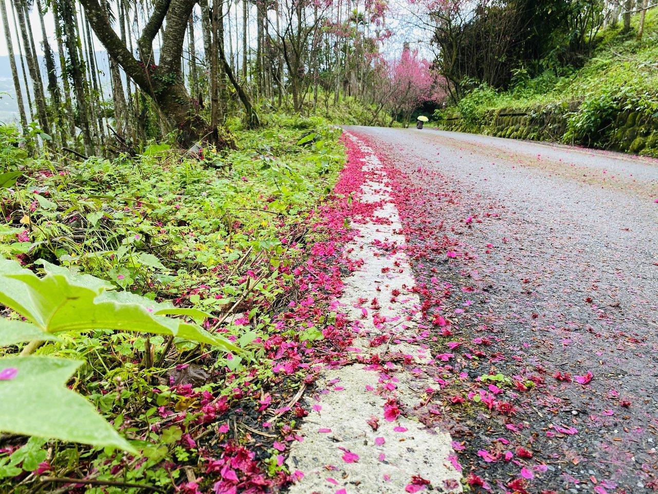 花蓮鳳林鎮櫻花步道不但兩旁種滿櫻花,掉落的粉紅花瓣散落在路邊,顯得詩情畫意。 圖...