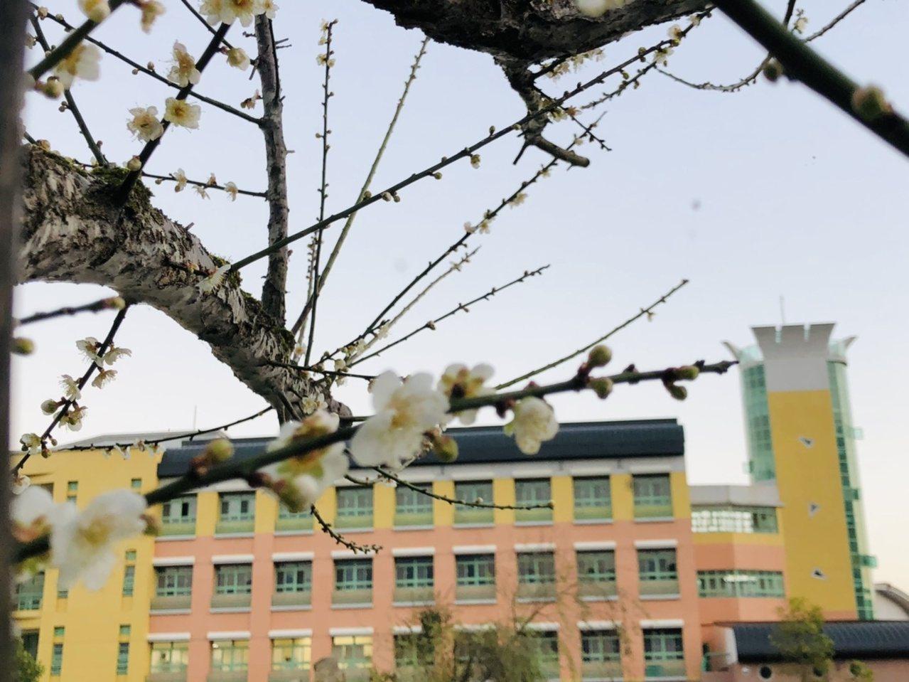 花蓮東華大學的梅花與遠方藝術學院新建大樓相互輝映,顯現如夢似畫場景。 圖/東華大...