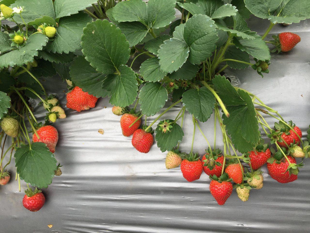 冬季正是草莓產季,民眾可以一起攜家帶眷,來一趟採草莓的輕旅行。 圖/產業發展局提...