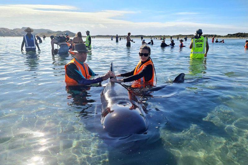 紐西蘭保育部表示,南島觀光勝地納爾遜(Nelson)以北約90公里的送別角(Farewell Spit)昨(22)日出現一群約50頭長肢領航鯨。 法新社