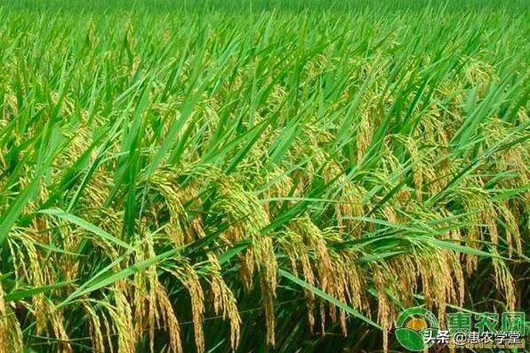2021年中共中央一號文件指出,要加快推進農業現代化,打好種業翻身仗,並支撐中國糧食安全。(每日頭條)