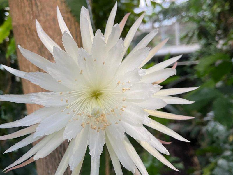 一朵月之花引起全球逾20萬人在線親賭它花期僅12小時的生命,甚至有人在花將謝之前為它寫詩。擷自英國劍橋大學植物園官網