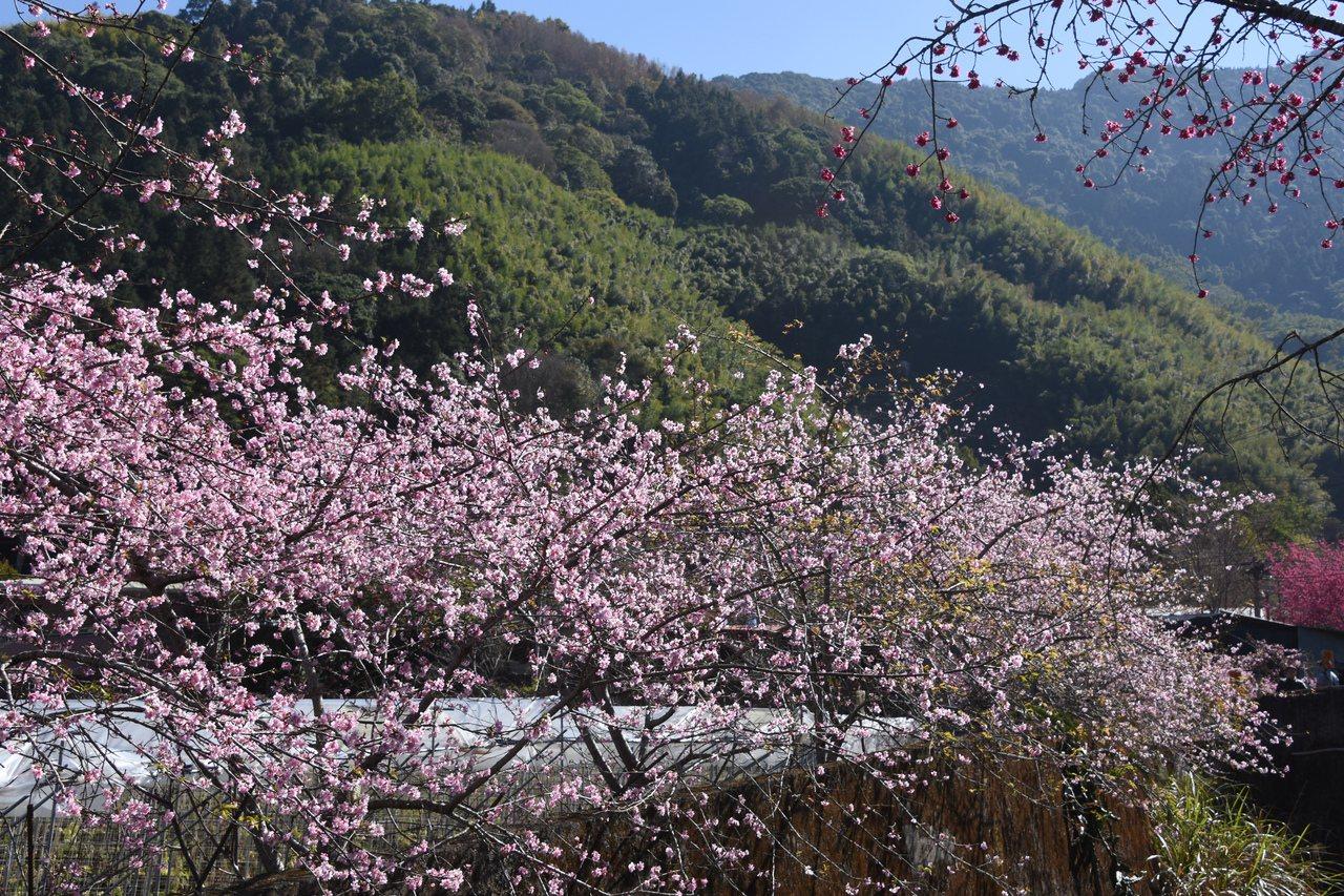 讓草坪頭揚名的不是茶,而是茶園之間遍植的櫻花、李花和桃花,每年初春繁花盛開,引來...