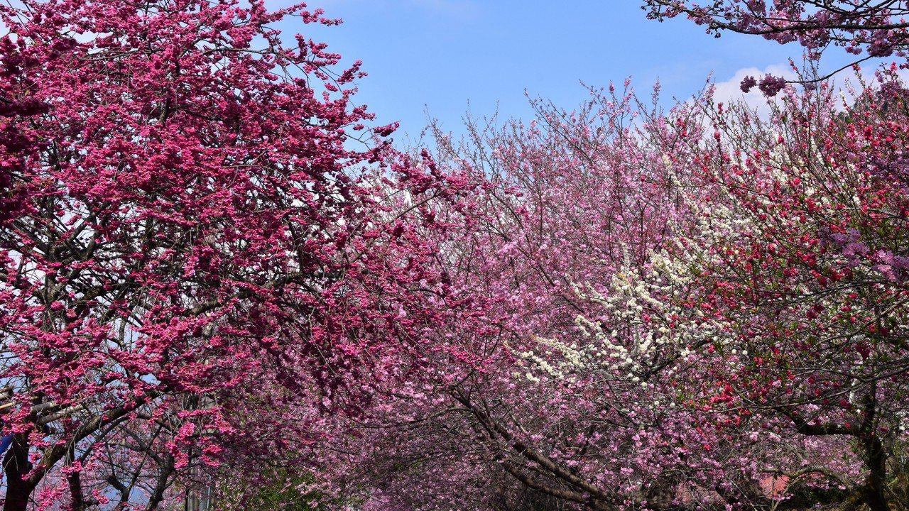 滿園李樹花苞蠢蠢欲動,道旁年輕的李樹卻已芳華正盛,與樹前粉紅色枝垂櫻相互輝映。 ...