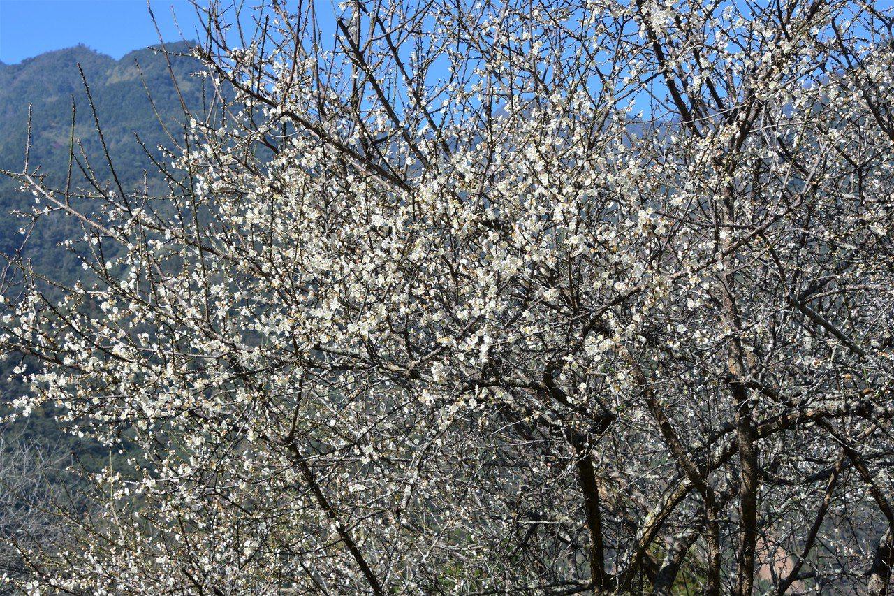 信義鄉是梅鄉,好在今年梅花也遲到,回程繞道桐林社區,梅花滿樹。 圖/沈正柔 提供